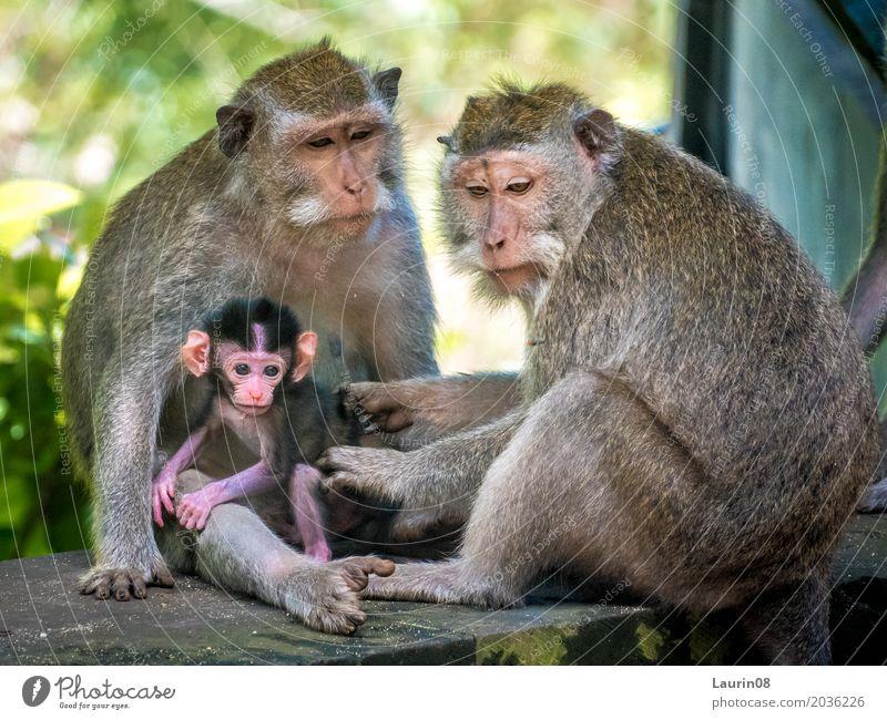 Monkey family / Affenfamilie exotisch Ferien & Urlaub & Reisen Tourismus Abenteuer Ferne Umwelt Natur Tier Sommer Schönes Wetter Uluwatu Bali Indonesien Asien