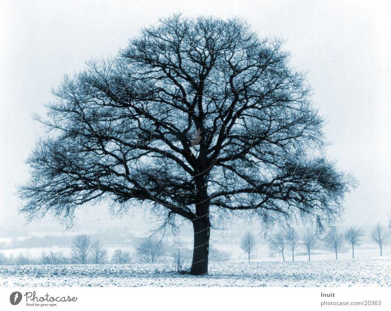 Blauer Baum Winter kalt Eiche blau