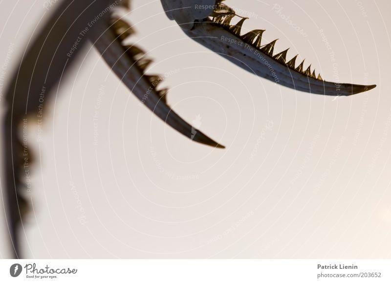 scary Tier Krebstier Werkzeug Spitze Natur Vorsicht Tod Körperteile Farbfoto Detailaufnahme Textfreiraum unten Abend Unschärfe Schere Scharfer Gegenstand