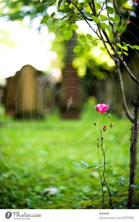 Grabwächter Umwelt Natur Pflanze Sonnenlicht Sommer Schönes Wetter Baum Blume Gras Blüte Grünpflanze Wildpflanze Friedhof Grabstein Blühend Wachstum grün rosa