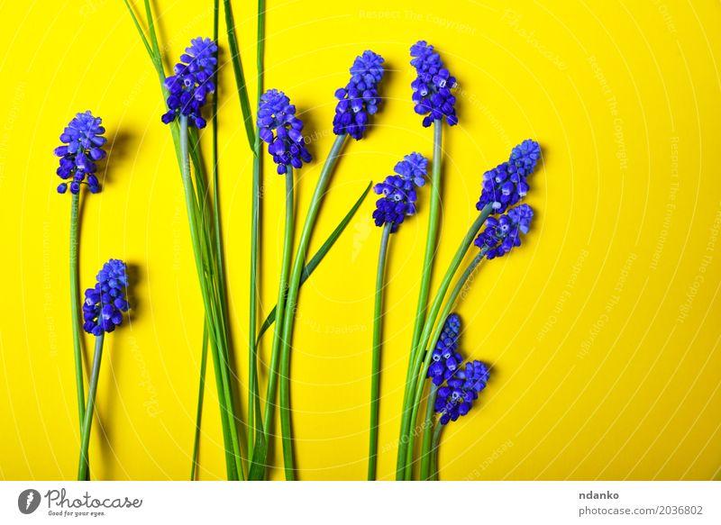 Gelber Hintergrund mit blauen Blumen, Maushyazinthe Dekoration & Verzierung Valentinstag Muttertag Geburtstag Natur Pflanze Blatt Blüte Blumenstrauß frisch hell