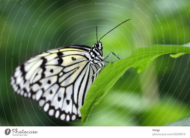 weiße Baumnymphe Pflanze Tier Blatt Schmetterling Weiße Baumnymphe Edelfalter 1 festhalten ästhetisch außergewöhnlich schön einzigartig klein natürlich grün