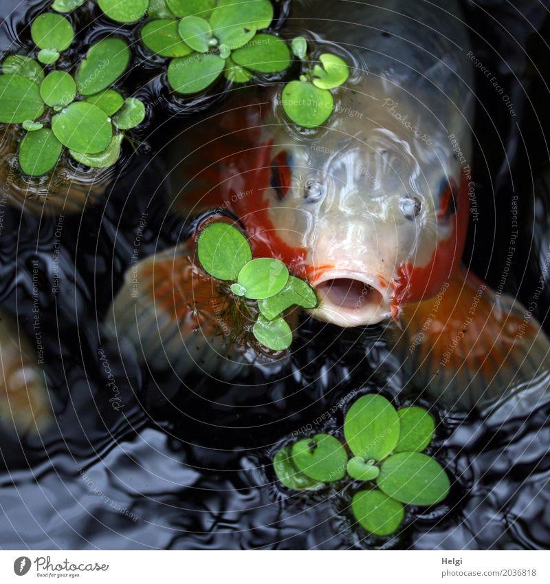 Großmaul Pflanze Wasser Frühling Blatt Wasserpflanze Park Tier Fisch Tiergesicht Koi 1 beobachten Blick Schwimmen & Baden außergewöhnlich einzigartig grau grün