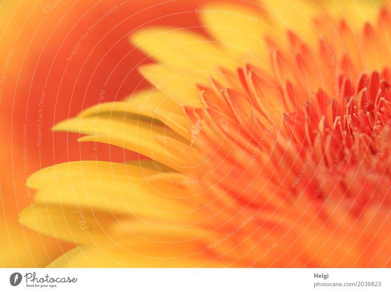 gelb-orange Umwelt Natur Pflanze Blume Blüte Gerbera Blühend Wachstum Duft schön einzigartig natürlich ästhetisch Blütenblatt Farbfoto mehrfarbig Außenaufnahme