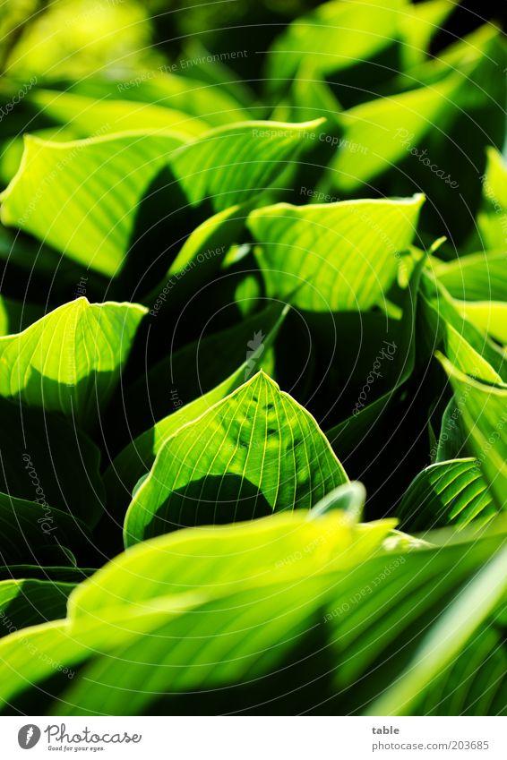 voll krass grün . . . Pflanze Blatt Grünpflanze leuchten Wachstum ästhetisch natürlich schwarz Gefühle Farbe Blattadern Hosta Farbfoto Außenaufnahme Nahaufnahme