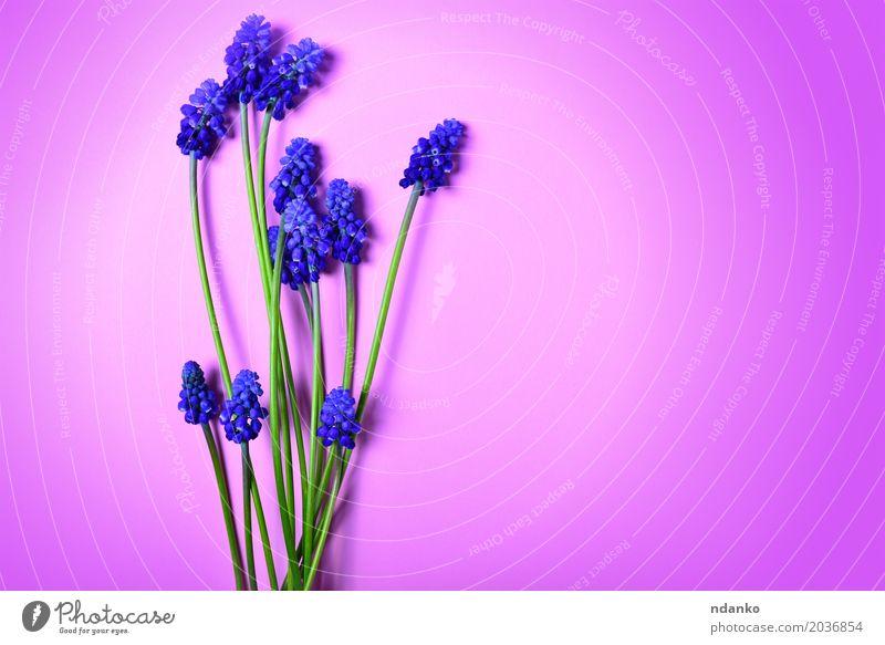 Blauer Frühling blüht auf einer rosa Oberfläche Sommer Valentinstag Muttertag Natur Pflanze Blume Blüte Blumenstrauß frisch hell natürlich blau grün geblümt