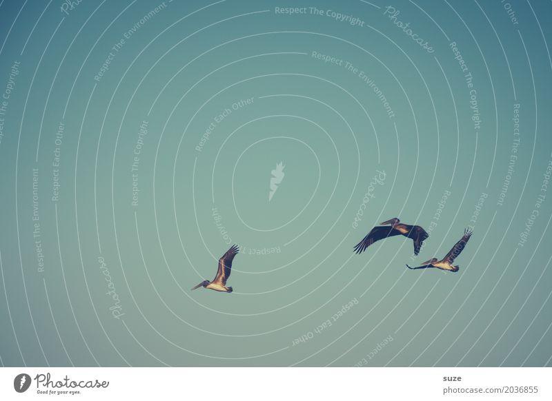 TT | Luftiges Trio exotisch Freiheit Tier Himmel Wolkenloser Himmel Wildtier Vogel 3 Tiergruppe fliegen retro blau Pelikan Farbfoto Gedeckte Farben