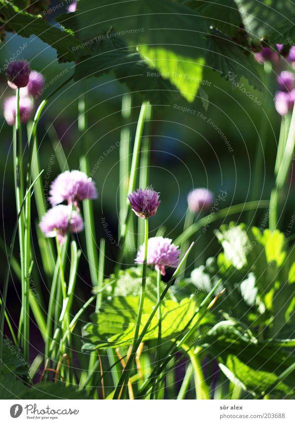 Blütenstand des Schnittlauchs Kräuter & Gewürze Ernährung Bioprodukte Vegetarische Ernährung Pflanze Nutzpflanze Lauchgemüse Garten Wachstum frisch Gesundheit