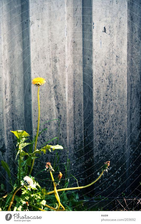 Steiler Zahn Natur Pflanze Sommer Blume Einsamkeit Umwelt Wand Mauer Kraft wild Wachstum authentisch trist einzigartig Blühend dünn