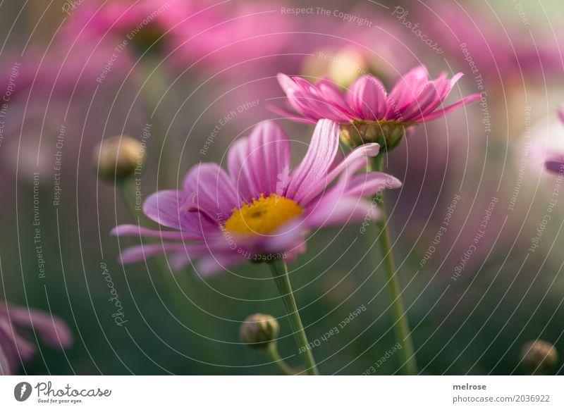 endlich Frühling ... Valentinstag Muttertag Geburtstag Natur Pflanze Sonnenlicht Schönes Wetter Blume Gras Blüte Wildpflanze Blütenknospen Margerite