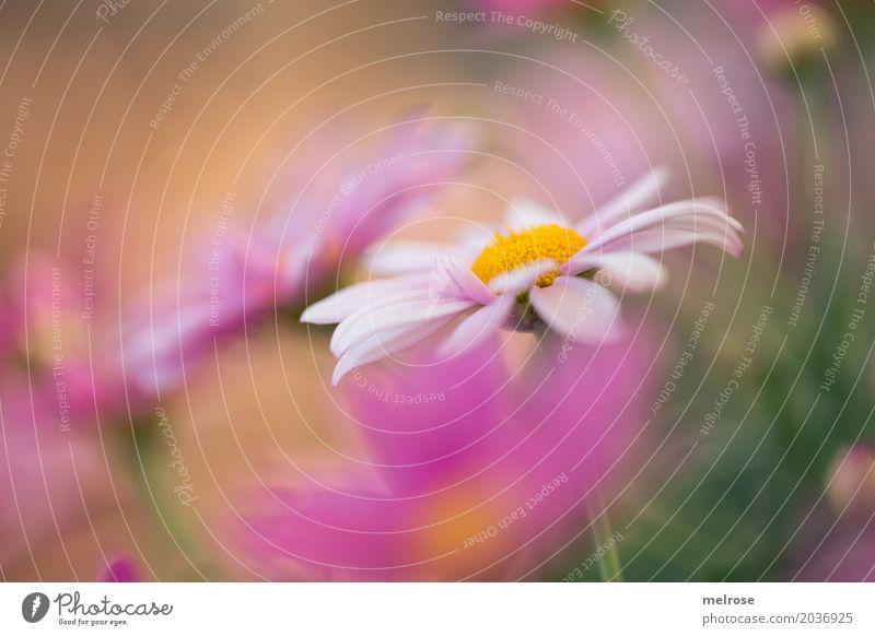sommerlich ... Natur Pflanze Sommer grün weiß Blume Erholung Blatt Farbstoff Blüte Wiese Stil Gras rosa Park Wachstum