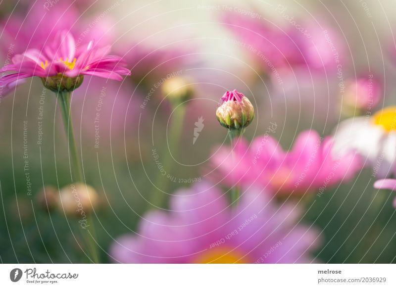 Kuckuck ... elegant Stil Valentinstag Muttertag Natur Pflanze Sonnenlicht Frühling Schönes Wetter Blume Gras Sträucher Blüte Wildpflanze Margerite