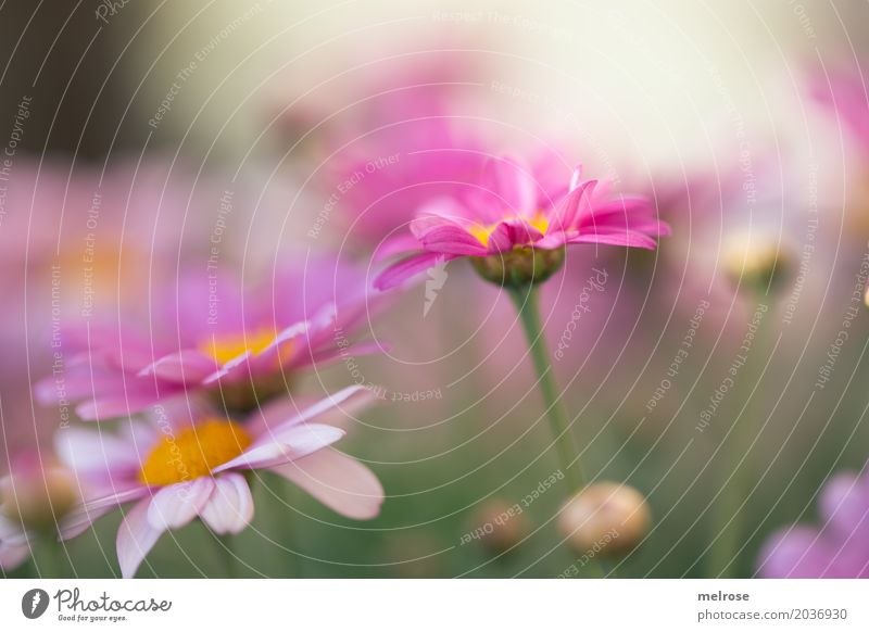 wachgeküsst Natur Pflanze Sonnenlicht Frühling Schönes Wetter Blume Gras Sträucher Blatt Blüte Wildpflanze Margerite Korbblütengewächs Blütenstiel Blütenknospen