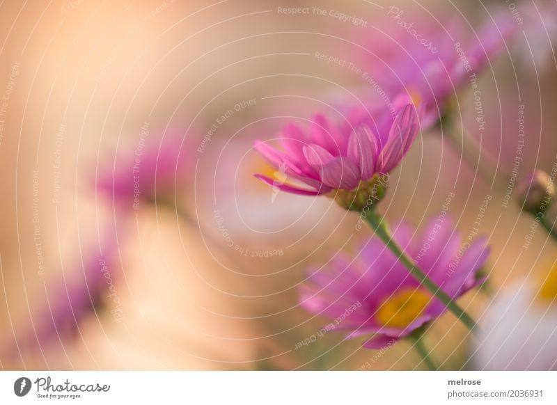 Summerbreeze Valentinstag Muttertag Natur Pflanze Frühling Schönes Wetter Blume Blüte Wildpflanze Margerite Korbblütengewächs Blüttenblätter Blütenstiel Park
