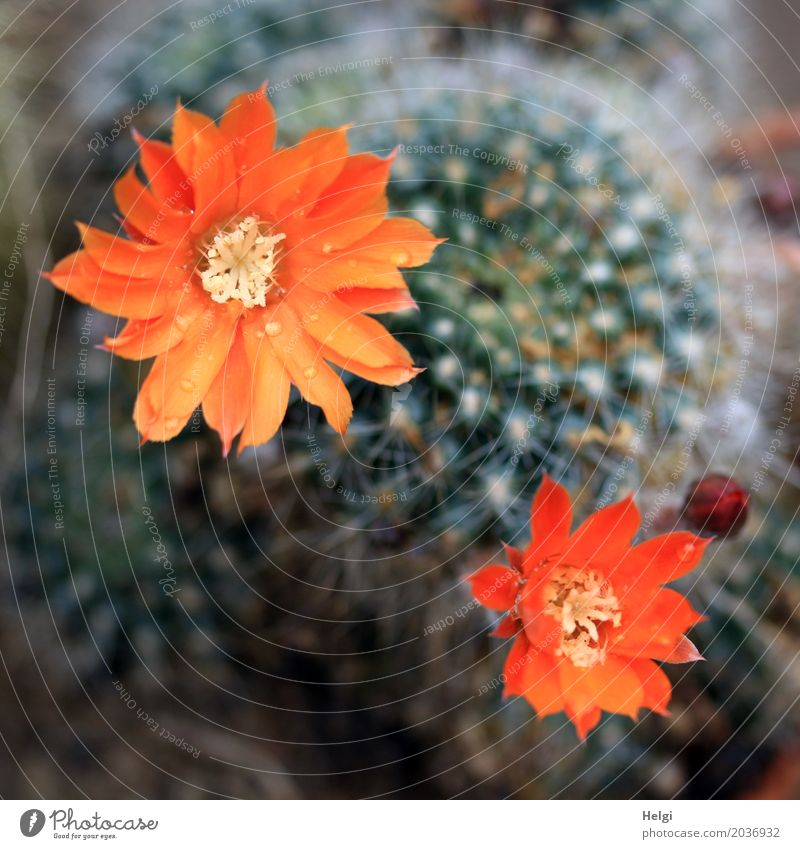 Kaktusblüten Pflanze Wassertropfen Blüte Blütenknospen Stachel Blühend Wachstum ästhetisch außergewöhnlich schön einzigartig klein natürlich Spitze grün orange