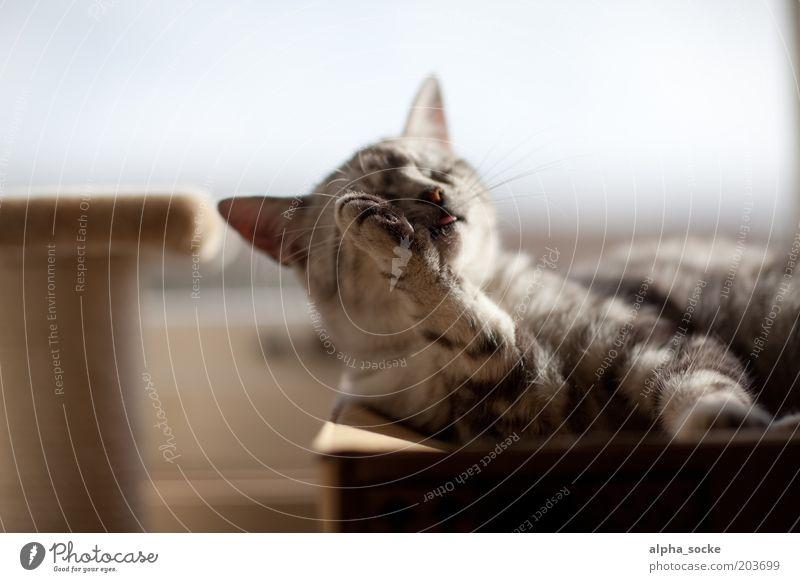 Morgenwäsche Katze schön Tier Gefühle grau braun Zufriedenheit natürlich Pause Reinigen Sauberkeit Tiergesicht Gelassenheit Leidenschaft Lebensfreude