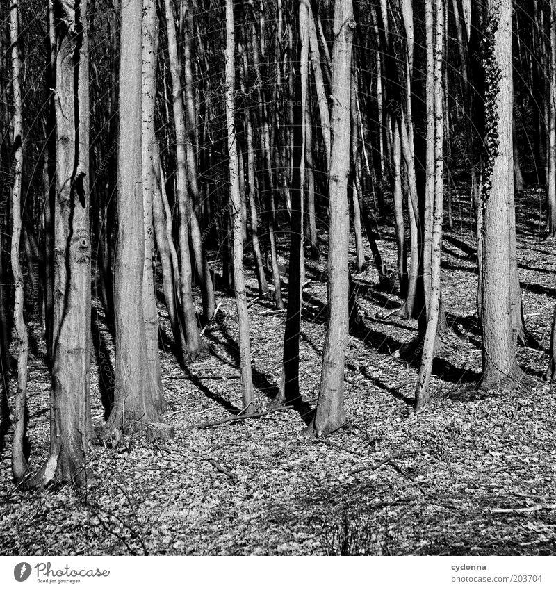 Wald vor lauter Bäumen Umwelt Natur Baum geheimnisvoll ruhig kahl Waldrand Laubbaum Schwarzweißfoto Außenaufnahme Textfreiraum unten Tag Licht Schatten Kontrast