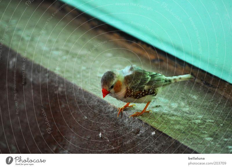 Auf dem Sprung Tier Wildtier Vogel 1 hocken Zebrafink Fink Farbfoto mehrfarbig Innenaufnahme Morgen Tag Tierporträt Blick nach unten