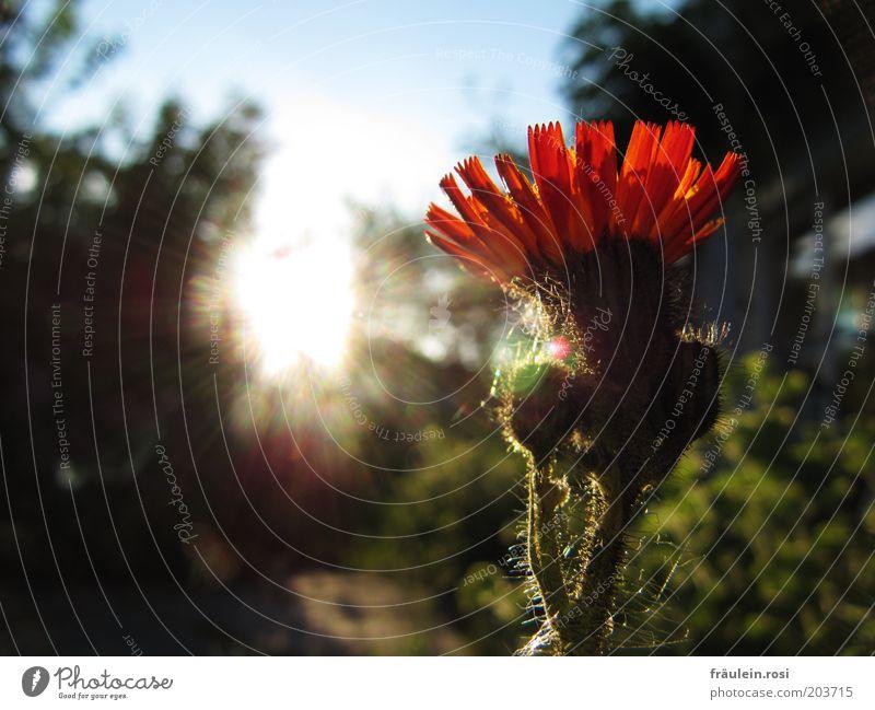 Sonne tanken Sonnenlicht Frühling Blume schön orange Sonnenstrahlen Farbfoto Außenaufnahme Gegenlicht Blütenblatt Nahaufnahme