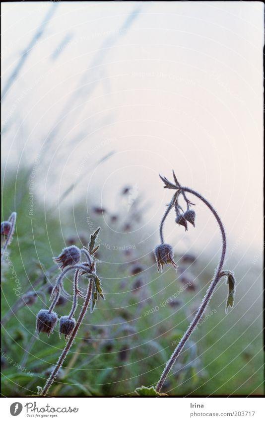 Geum rivale Natur schön Pflanze Frost analog Raureif gekrümmt Morgendämmerung Nelkenwurz
