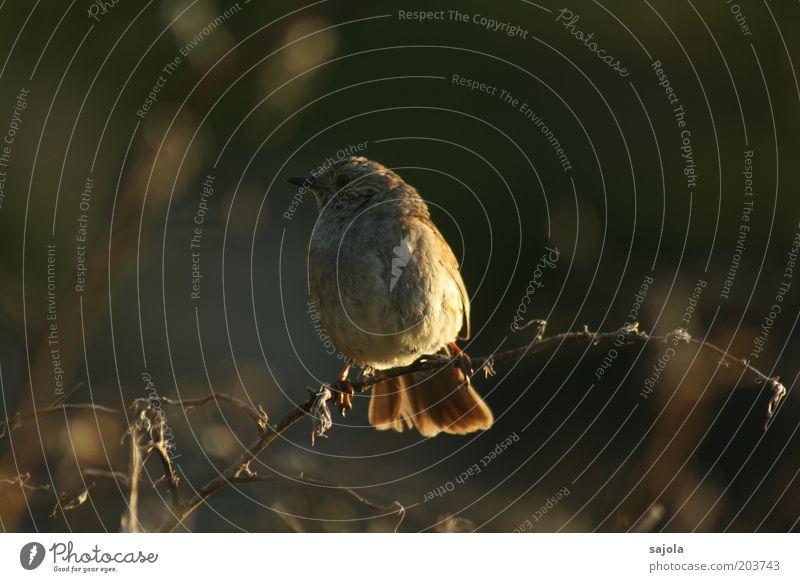 warten in der dämmerung Umwelt Natur Tier Wildtier Vogel 1 Blick sitzen Neuseeland Farbfoto Gedeckte Farben Außenaufnahme Textfreiraum rechts Abend Dämmerung