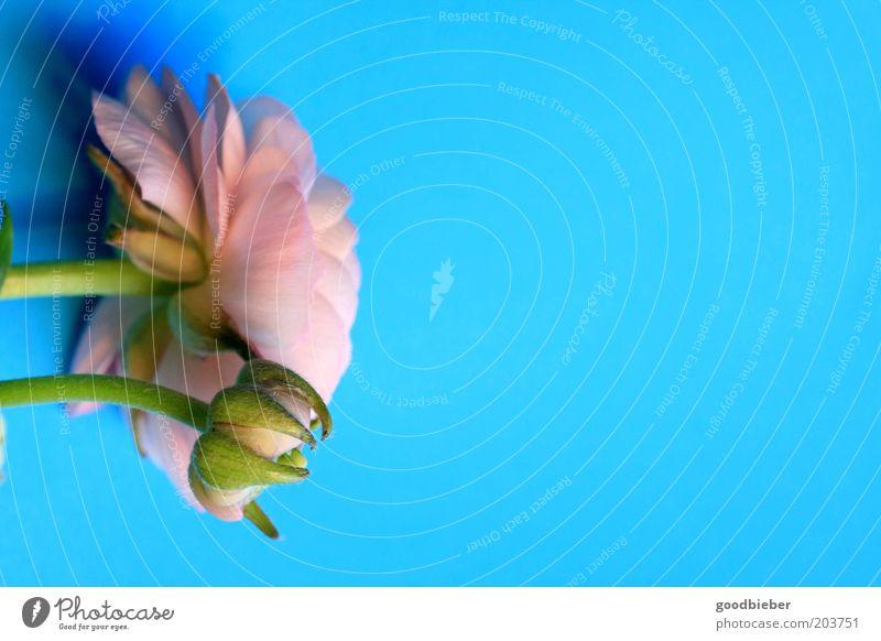 Blume auf Türkis Rose Blüte ästhetisch Duft blau grün rosa türkis Farbfoto Außenaufnahme Nahaufnahme Menschenleer Textfreiraum rechts Hintergrund neutral Abend