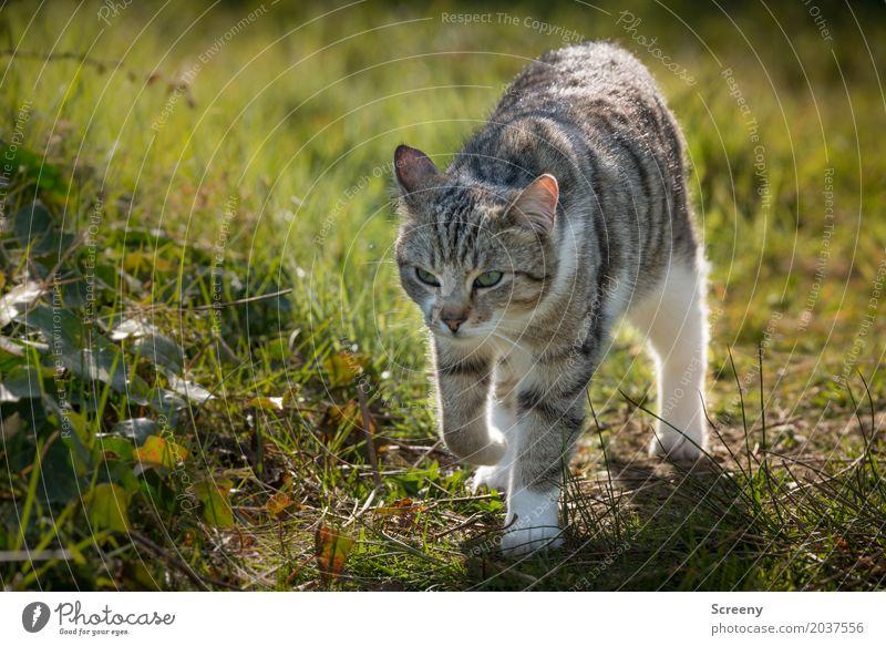 Auf Streifzügen... Katze Natur Pflanze Sommer Tier Frühling Wiese Garten Park laufen Schönes Wetter beobachten Neugier Gelassenheit Haustier