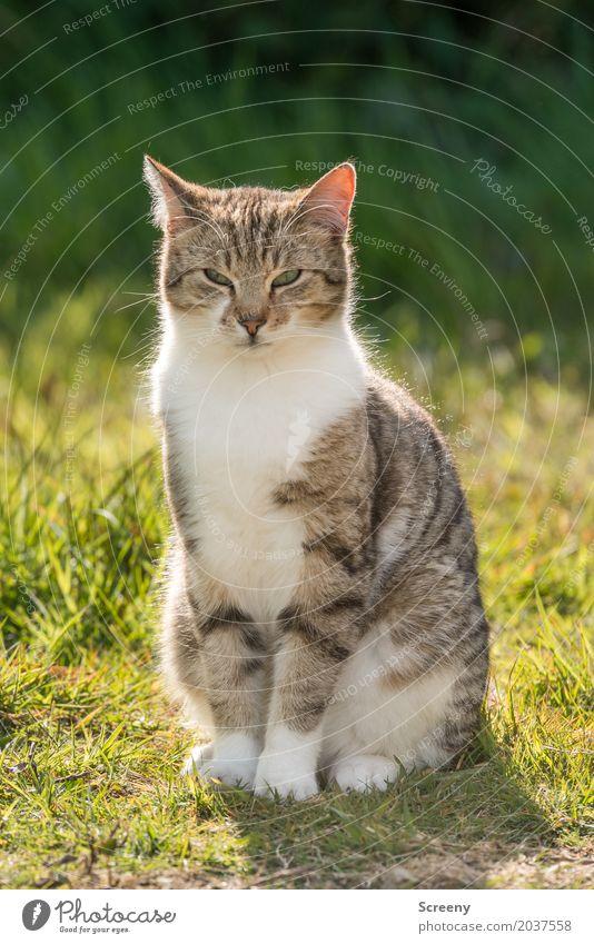 Nu schau mal an... Natur Pflanze Tier Sonne Frühling Sommer Schönes Wetter Gras Sträucher Garten Park Wiese Haustier Katze 1 beobachten sitzen Gelassenheit