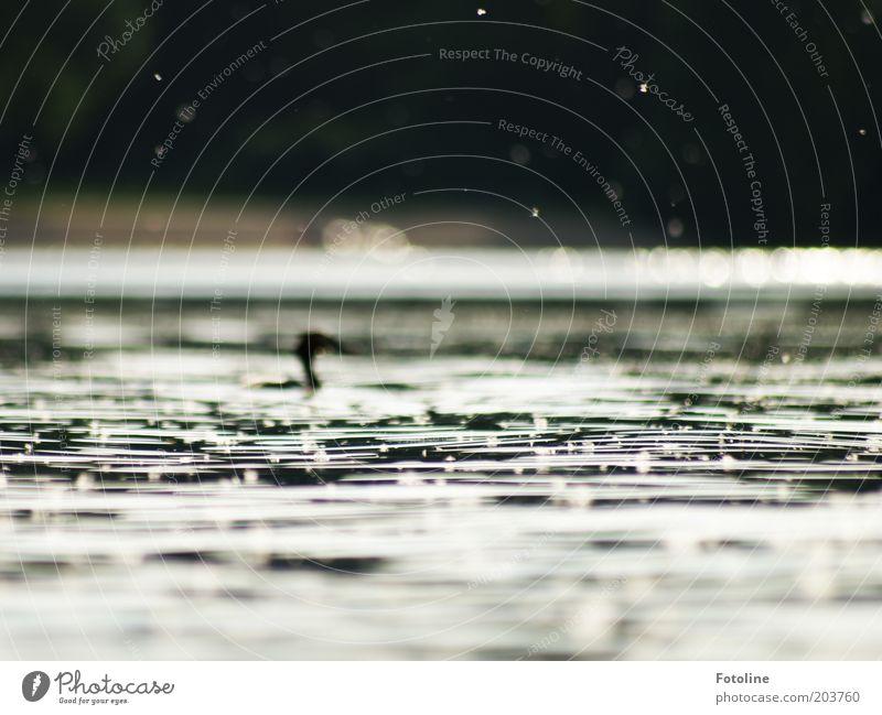 Und im Hintergrund: ein Haubentaucher Umwelt Natur Tier Urelemente Wasser Wellen Seeufer Wildtier Vogel Hintergrundbild Farbfoto Gedeckte Farben Außenaufnahme