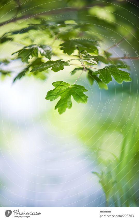 Frühlingsgemüse Natur blau grün Sommer Blatt Frühling Wachstum Idylle Umweltschutz Leichtigkeit Ahorn Frühlingsgefühle Wildpflanze