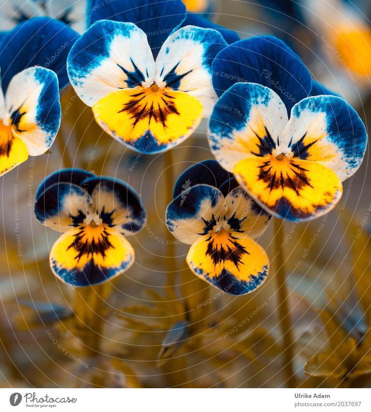 Stiefmütterchen ( Viola) Natur Pflanze Frühling Sommer Blüte Wildpflanze Topfpflanze Veilchengewächse Garten Park Wiese Blühend außergewöhnlich Coolness schön