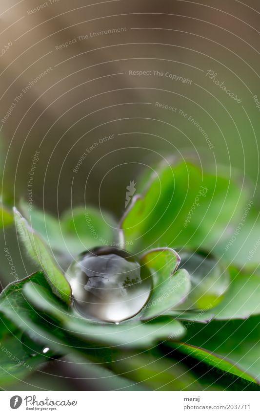 O Leben Wasser Wassertropfen Frühling Blatt elegant kalt klein nass natürlich rund grün Zufriedenheit Einsamkeit Oberflächenspannung kugelrund Erfrischung