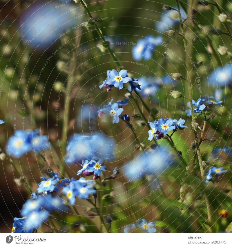...ohh...wie könnte ich nur? schön Blume grün blau Pflanze Sommer Blüte Kitsch Blühend sommerlich Frühlingsgefühle Vergißmeinnicht Blütenpflanze