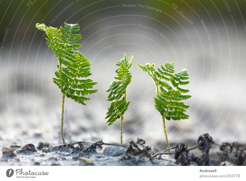 Dreierkette Natur grün Pflanze Umwelt Garten Sand frisch 3 Wachstum neu Umweltschutz Mensch Farn Trieb Echte Farne Grünpflanze