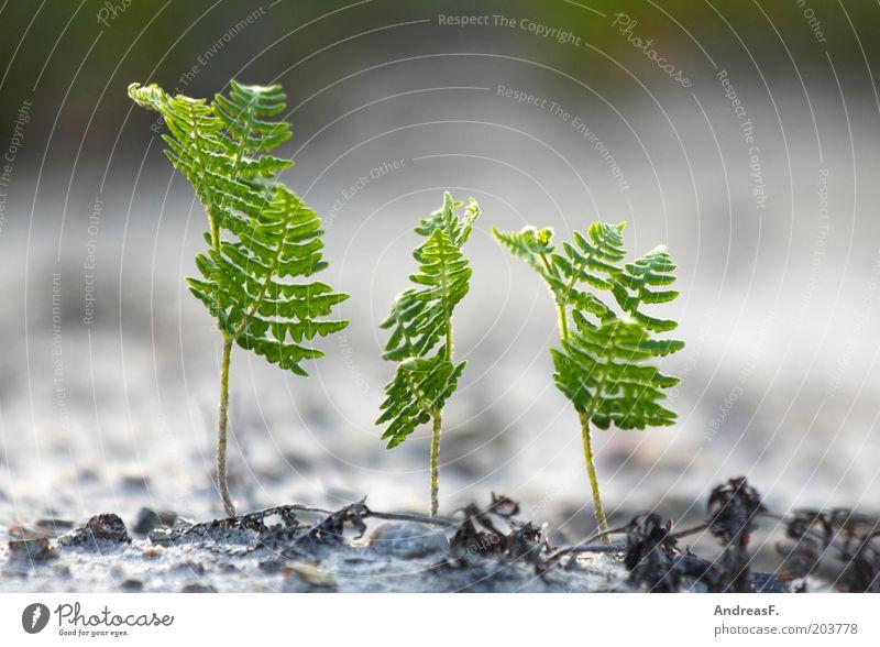 Dreierkette Umwelt Natur Pflanze Sand Farn Grünpflanze Garten frisch neu grün Umweltschutz Echte Farne 3 Wachstum Keim Trieb Jungpflanze Farbfoto Außenaufnahme