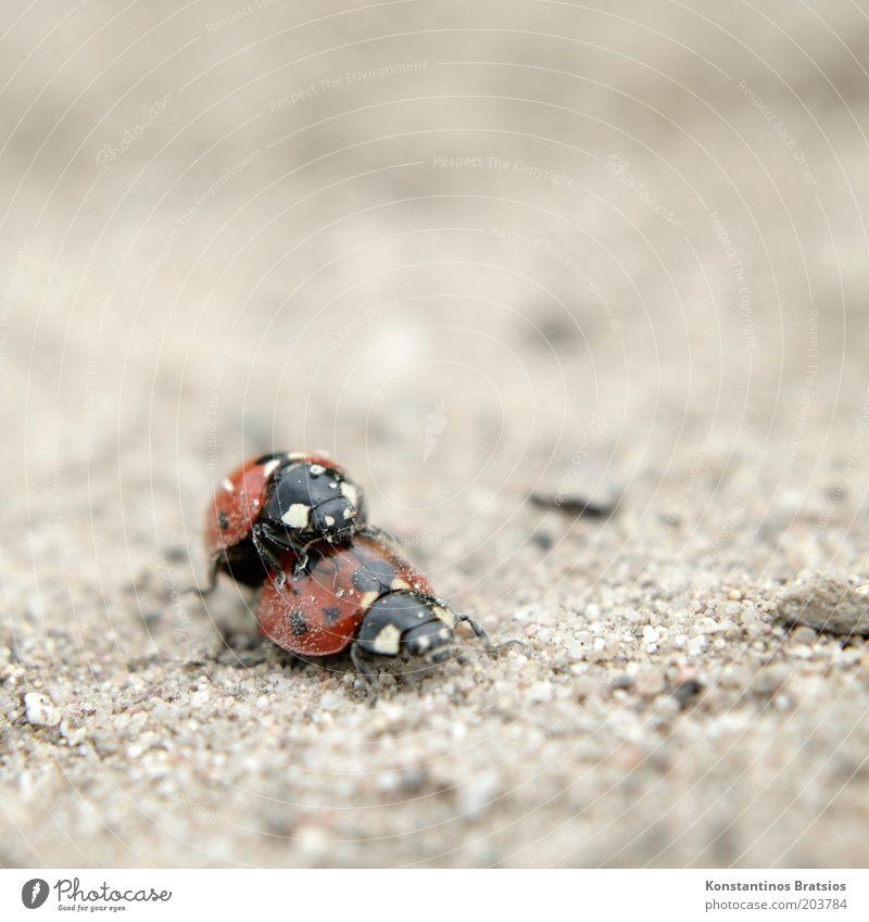 Sand im Getriebe Sommer Käfer Marienkäfer Insekt 2 Tier Tierpaar krabbeln dreckig klein nah niedlich unten Fortpflanzung Makroaufnahme Nahaufnahme Farbfoto