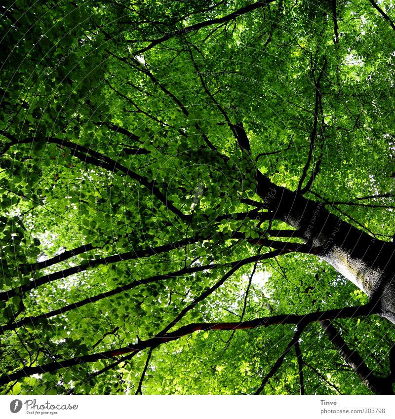 weit verzweigt Natur Frühling Pflanze Baum Park Wald alt hoch grün schwarz Kraft Erneuerung Zweige u. Äste Baumstamm formatfüllend Blätterdach Schattenspender