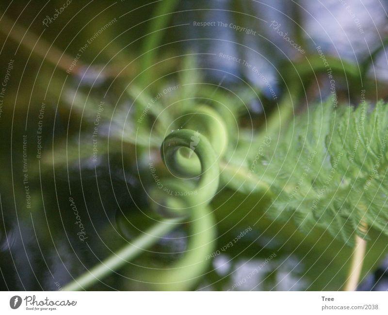 Spiralpflanze Spirale Wasserpflanze