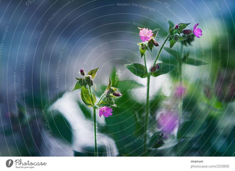 Rote Lichtnelke Natur Frühling Sommer Blume Blatt Blüte Wildpflanze schön grün rosa Frühlingsgefühle Schwache Tiefenschärfe Blühend