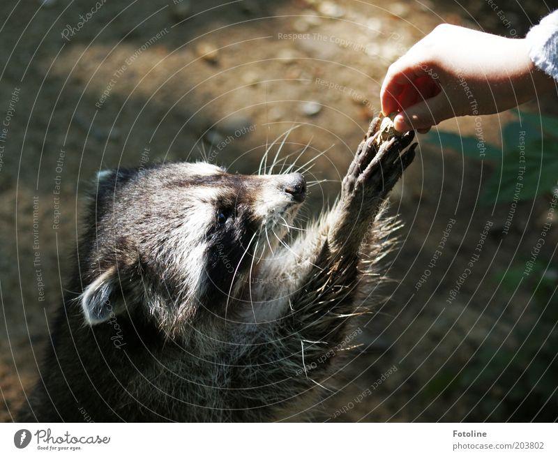 Och bitte, bitte, bitte! Mensch Kind Mädchen Kindheit Arme Hand Finger Tier Wildtier Fell Pfote hell Wärme weich Waschbär Säugetier Fressen Farbfoto