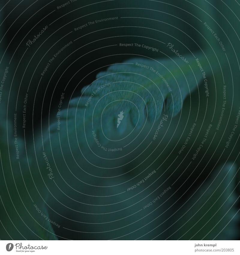 love will tear us apart Natur Pflanze Sträucher Blatt Grünpflanze Wachstum dunkel grün schwarz Strukturen & Formen Photosynthese Gedeckte Farben Außenaufnahme