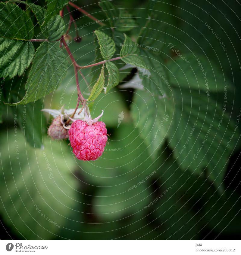 himbeerle Frucht Himbeeren Natur Pflanze Garten grün rosa rot Lebensmittel Blatt Vitamin Farbfoto Außenaufnahme Tag