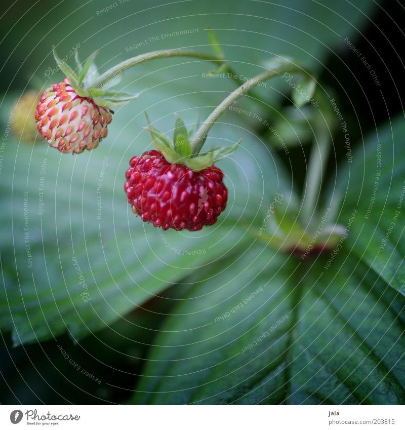 erdbeerle Frucht Erdbeeren Ernährung Bioprodukte Vegetarische Ernährung Natur Pflanze Garten grün rot Vitamin Gesundheit Farbfoto Außenaufnahme Nahaufnahme