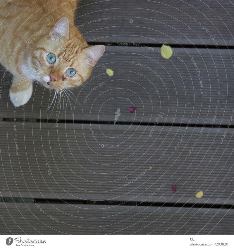 curiosity killed the cat Tier Auge Katze Ohr beobachten Tiergesicht Neugier Fell entdecken Überraschung Pfote Haustier Interesse Erwartung rothaarig