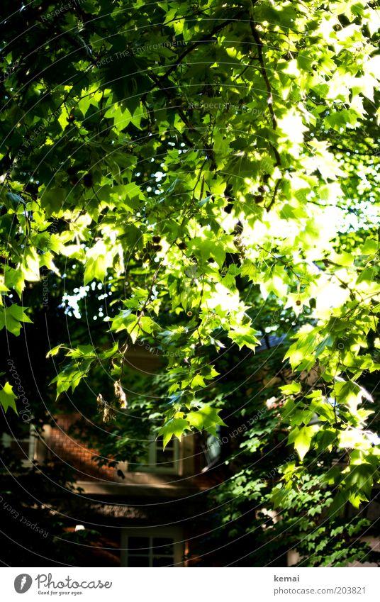 Blätterdach Umwelt Natur Pflanze Sonnenlicht Sommer Klima Schönes Wetter Wärme Baum Blatt Grünpflanze Wildpflanze Haus Fenster Backstein Blühend leuchten