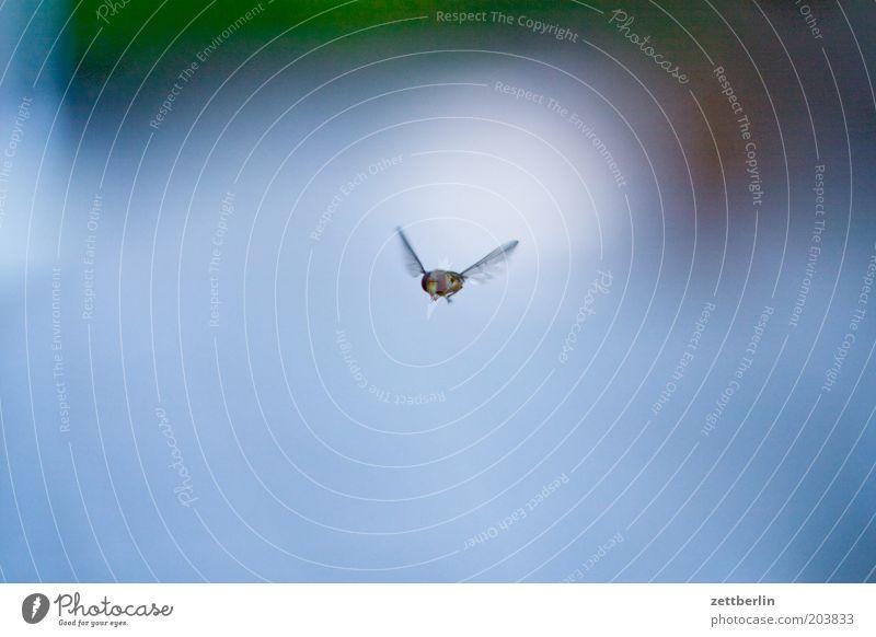 Schwebfliege Fliege fliegen Schweben Summen Flügel Insekt Hautflügler Natur Tier Textfreiraum Freisteller 1 einzeln Luft