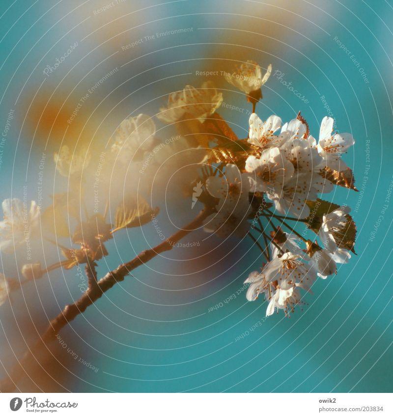 Echte Blüten Natur weiß Pflanze Frühling Luft Kraft elegant Umwelt Wachstum Wandel & Veränderung Lebensfreude natürlich Blühend Duft Leichtigkeit