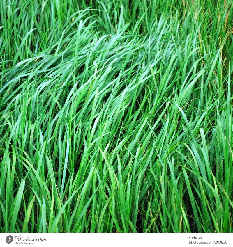 grünes gras. Sommer Gras Wiese saftig Halm Wind ruhig sanft Natur Pflanze frisch Frühling Farbfoto Menschenleer Feld