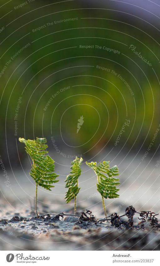 Farn Umwelt Natur Landschaft Pflanze Sand Echte Farne Grünpflanze frisch neu grün 3 renaturierung Wachstum Keim Trieb Jungpflanze drillinge Farbfoto