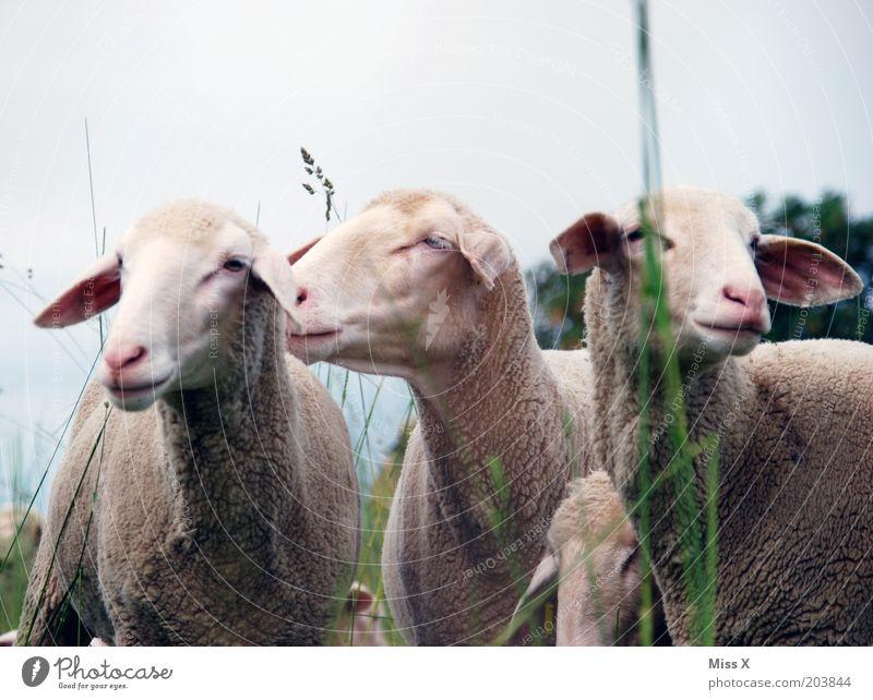 3 1/2 Grazien Natur Gras Wiese Tier Nutztier Tiergruppe kuschlig Stolz Weide Schaf Farbfoto Gedeckte Farben Außenaufnahme Menschenleer Textfreiraum oben